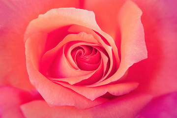 Center of a Pink Rose