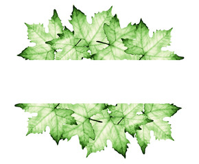 Watercolor painting of Green maple leaves with place for text