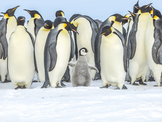 Emperor Penguins on the frozen Weddell Sea