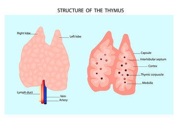 Anatomy of the thymus gland. Structure of the thymus.