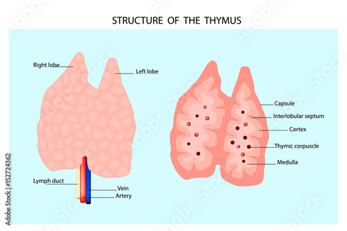 Anatomy of the thymus gland. Structure of the thymus.\