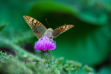 Argynnis pandora - Cardinal cloak butterfly on a flower in meadow. Butterfly in natural habitat