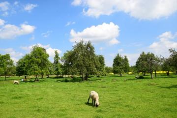 Weidende Schafe auf Streuobstwiese
