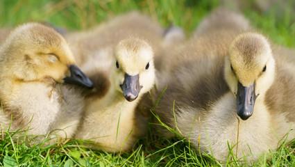 cute Canada goose gosling