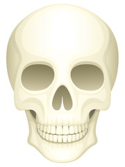 Vector illustration of a human skull.