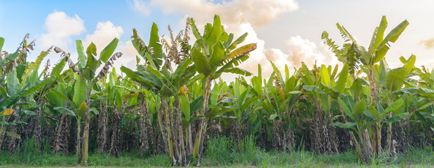 Banana tree plantation with sunshine.