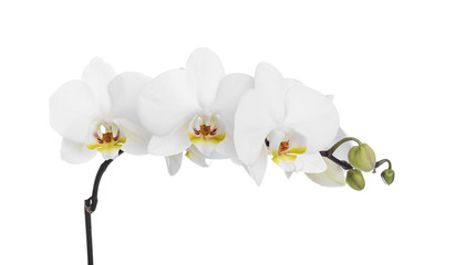 Orchid on a white background.