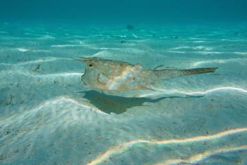 Tropical fish longhorn cowfish, Lactoria cornuta, underwater in the lagoon of Bora Bora, Pacific ocean, French Polynesia