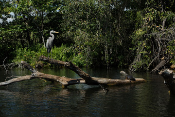 mangrove swamp birds eagle and cranes in Mexico