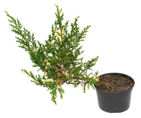 Juniperus horizontalis Andorra Compacta Variegata in a pot isolated on white background. Coniferous trees. Flat lay, top view