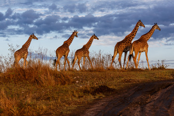 Wall Mural - Giraffes in the Masai Mara National Reserve in Kenya