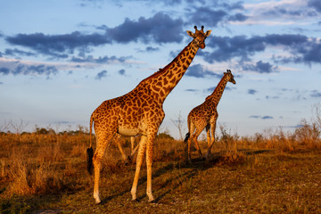 Wall Mural - Giraffes with morning clouds in the Masai Mara National Reserve in Kenya
