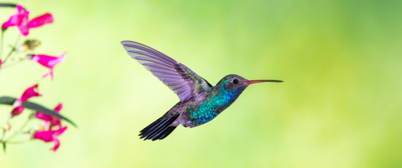 Broad-billed Hummingbird in flight