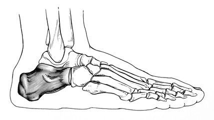 Line drawing of a normal human foot, with an.emphasis on the talus (heel) bone, ; side view.