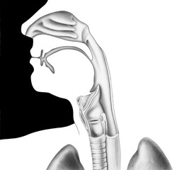 Human head and neck, shown from the nose to the shoulder in cross section. Included are the nasal.cavity, mouth, tongue, epiglottis, larynx, vocal cords, esophagus, and trachea (windpipe).