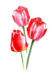 Postcard of a tulip flowers.Watercolor hand drawn illustration.Garden flowers on a white background.