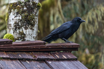 crow sitting on roof