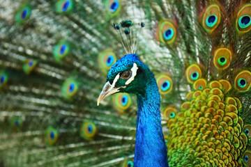 Beautiful colorful peacock, closeup