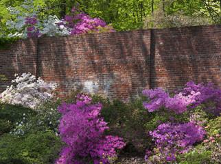 Azalea flowers by a brick wall