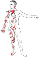 Male figure with select organs, bones and blood vessels visible. Shown are the clavicle, heart and kidneys. Arm bones - humerus, ulna, radius. Leg bones - femur tibia ,fibula and the hip bone.