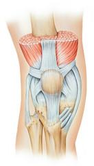 The knee extensor mechanism, which consists of the quadriceps muscle group (rectus femoris, vastus intermedius, and vastus medialis), patella, and patellar tendon.