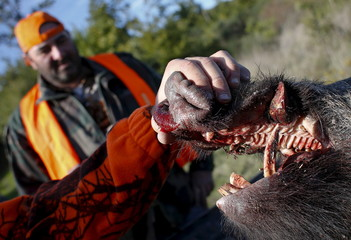 A dead wild boar is seen during a hunt in Castell'Azzara, Tuscany, Italy