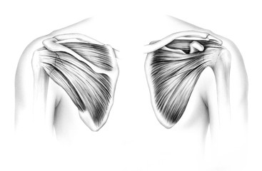 Scapula - Tendons. Human scapula tendons and muscles, front (right) and back (left).