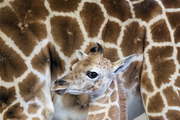 A female Rothschild giraffe, named Sandy Hope, stands next to its mother at the LEO Zoological Conservation Center in Greenwich, Connecticut