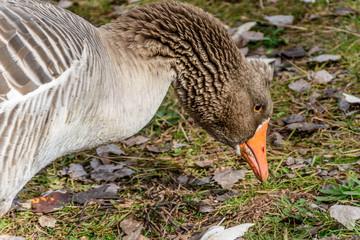 Female Australian Settler Goose