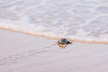 Newly hatched baby turtle toward the ocean