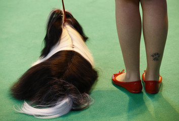 A handler with a paw print tattoo on her leg shows a Shih Tzu during the last day of the Crufts Dog Show in Birmingham