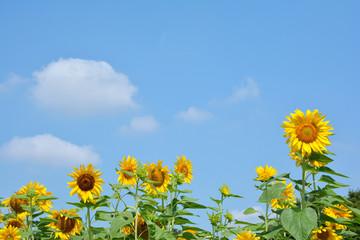 ヒマワリの花 青空背景
