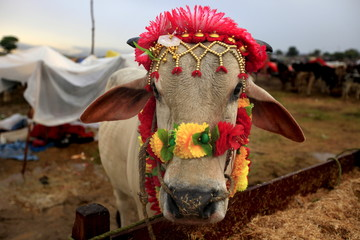 A sacrificial bull decorated for sale stands at its feed trough at the animal market on the outskirts of Islamabad