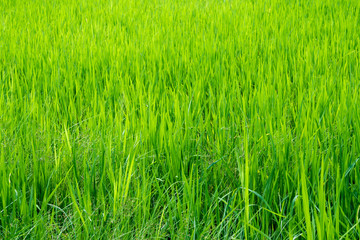 Grass weed in the rice fields