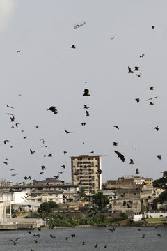 A U.N. MI-24 helicopter flies above a camp belonging to soldiers loyal to Ivory Coast's Laurent Gbagbo, as bats are seen in the sky, in Abidjan