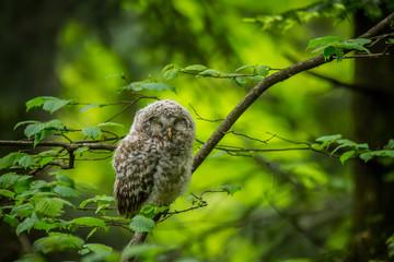 Ural owl (Strix uralensis) - Puszczyk uralski