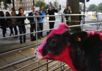 Passers-by photograph George, a cow which has been dyed pink, as it stands in a pen for the opening of an exhibition called Furious Affection by leather artist Mark Evans, in central London