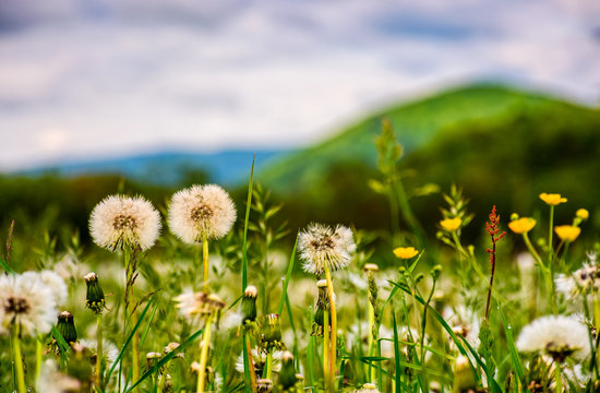 dandelion field at sunrise in mountains
