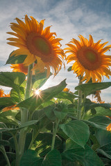 Glowing Sunflowers of the California