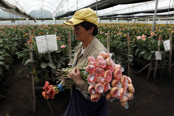 A worker carries gerbera daisies for export before the upcoming Valentine's Day, at Elite greenhouse in Facatativa