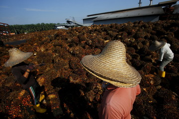 File photo of a worker collecting palm oil fruit inside a palm oil factory in Sepang, outside Kuala Lumpur