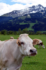 Cow with fringe on field looking at camera. Beautiful mountain landscape (Austrian Alps) on background. Vertical image.