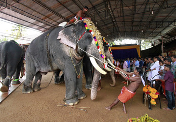 A mahout tightens a rope as he drapes a caparison onto an elephant's head during festivities marking the annual harvest festival of Onam at a temple on the outskirts of Kochi