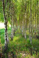 młody las brzozowy