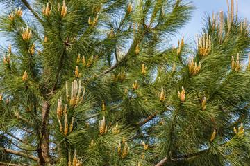 Ramas de Pino Piñonero con yemas e inflorescencias masculinas. Pinus pinea.