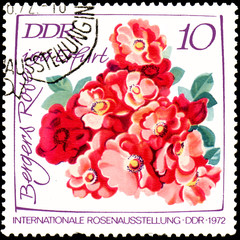 GDR - CIRCA 1972: postage stamp printed in GDR shows image of Bergers Rose, International exhibition of roses in Erfurt
