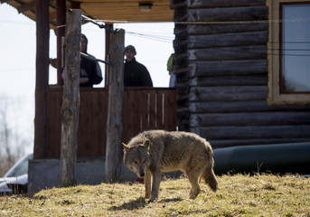 Visitors look at a tamed wolf at a tourist homestead in the village of Sosnovy Bor