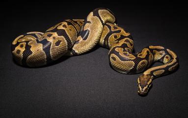 Photo of brown pet snake