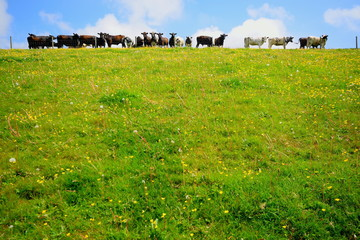 Wall Mural - Herd of cows on a farmland in East Devon