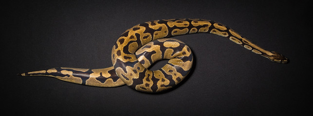 Photo of royal python's loop